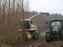 A wheeled excavator with a felling head is cutting trees on a short rotation coppice.